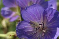 Meadow Crane flowers
