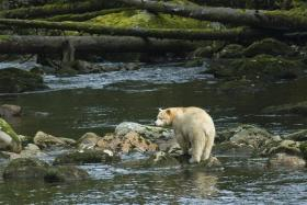 Spirit Bear in Great Bear Rainforest